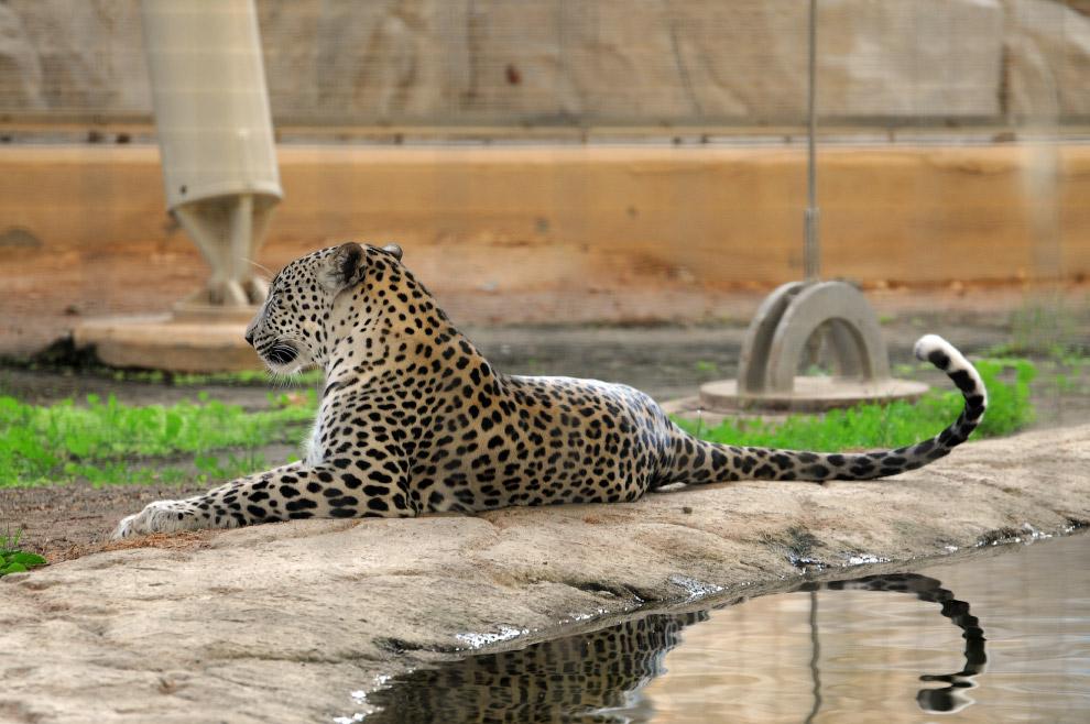 Переднеазиатский леопард (Panthera pardus ciscaucasica) Самый большой из леопардов. Еще его наз
