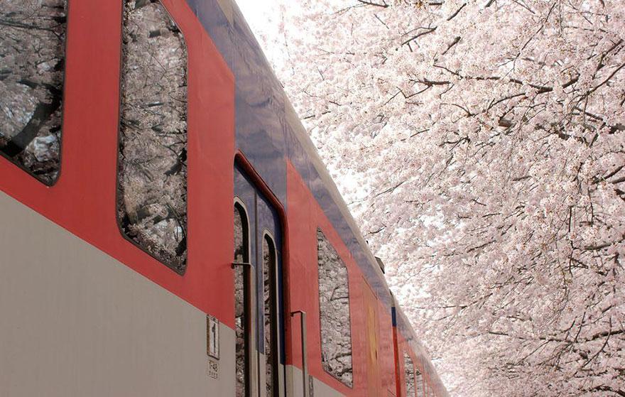 В коротком, блистательном цветении сакуры и сливы, которое продолжается от недели до десяти дней, ви