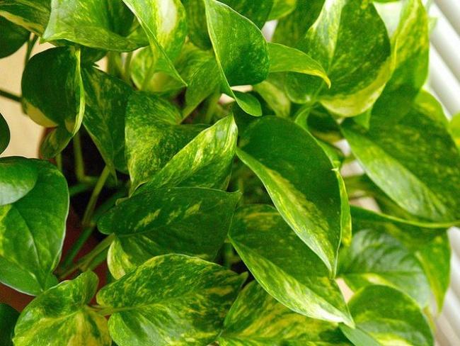 Золотой потос (Scindapsus aures)— выносливое растение, спокойно растет втени, переносит низкие тем