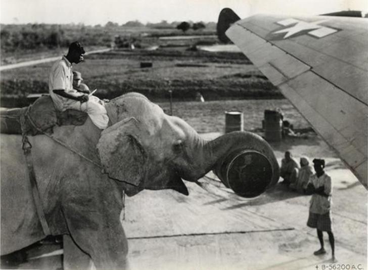 Слон помогает загружать продовольствие в американский самолет в 1945 году.