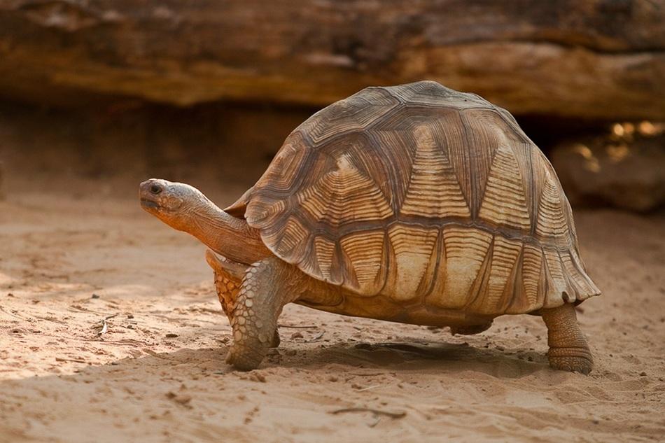 На северо-востоке Мадагаскара этих прекрасных черепах осталось 440-770 особей. Карликовый лениве