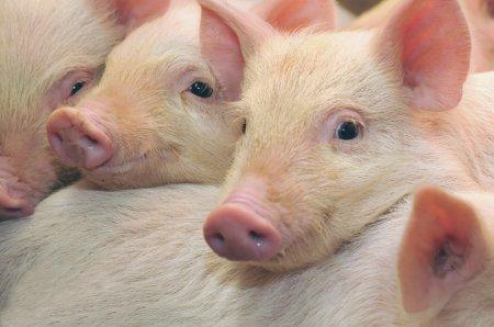 ВБелгороде выведут свою породу свиней