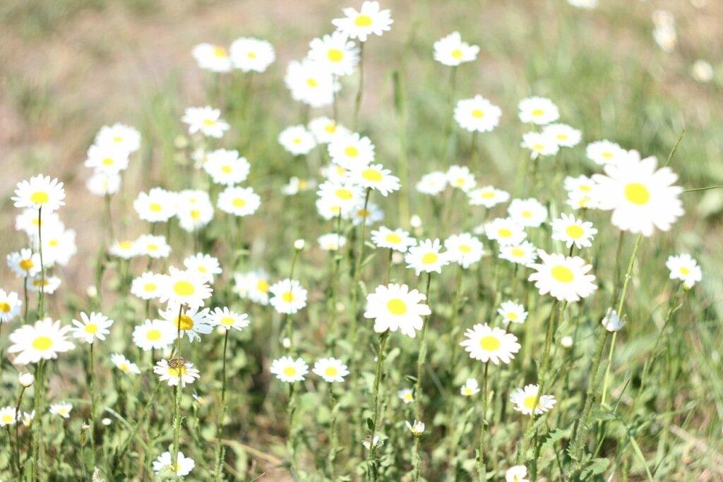 Национальный парк Мюриц ромашки