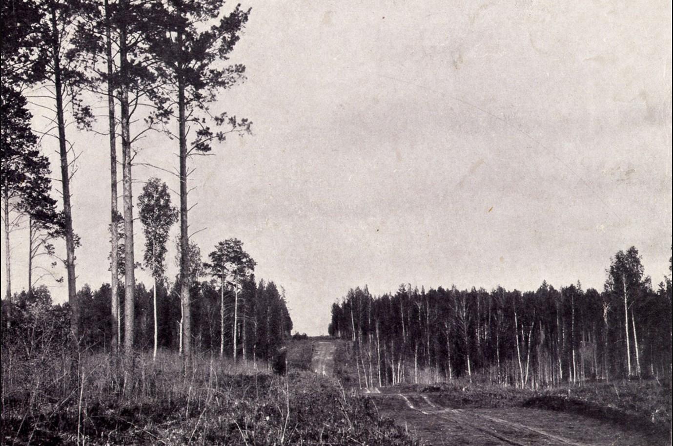 Просека в сосновом бору на месте будущего Николаевского проспекта. 1896
