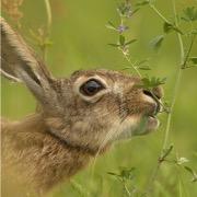 Заяц жует