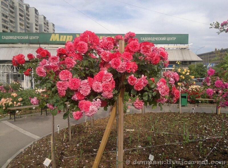 Москва. Розовый сад.