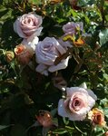 Розы Fryer 2014