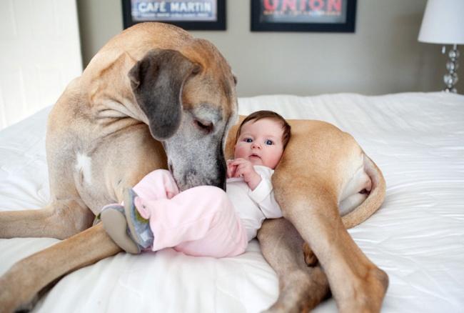 Огромные собаки тоже приходят напомощь молодым родителям. Какимбы нибыл трудным первый год для ро