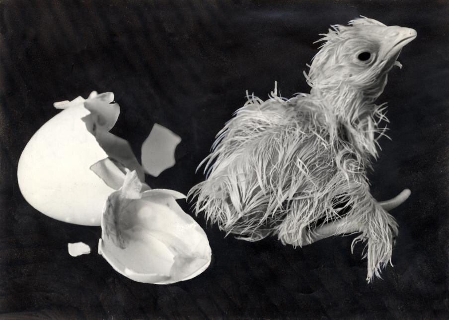 Chick facing daylight for the first time, 1936