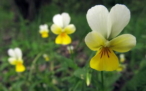 Фиалка полевая (Viola arvensis)Альбом: лесные растения