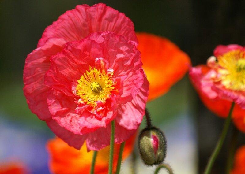 Цветок мака символ сна и смерти