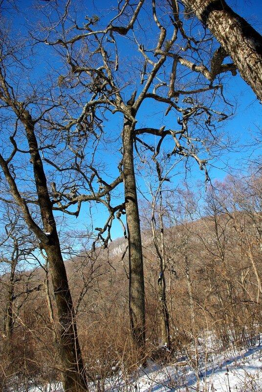 корявое древо.jpg