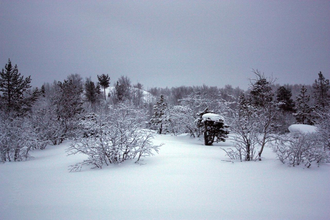 зимний северный лес,низкорослые деревца