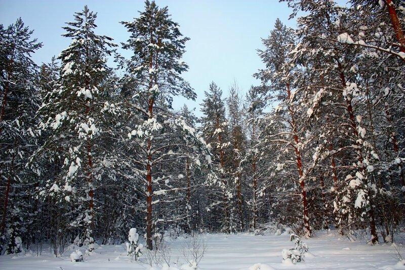 родная природа, лес, сосновый лес, снег, зима