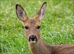 В Приморье браконьеры охотились на косуль