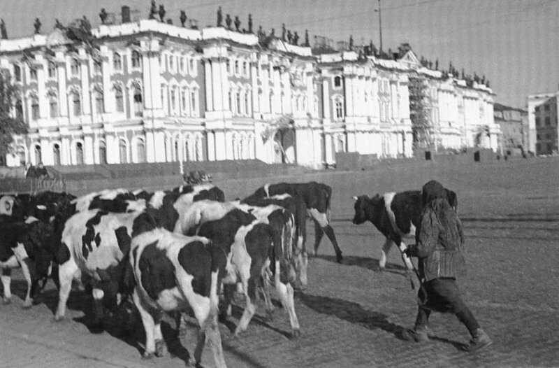 Дворцовая площадь. Скот, угоняемый жителями прифронтовых районов. Осень 1941 года