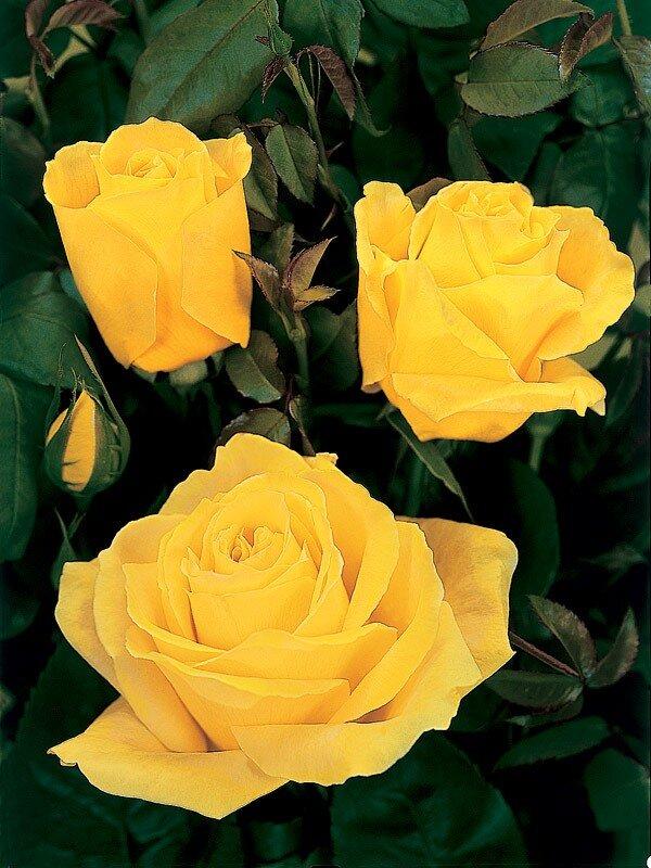 геркон сорта желтых роз с фото и названиями листья