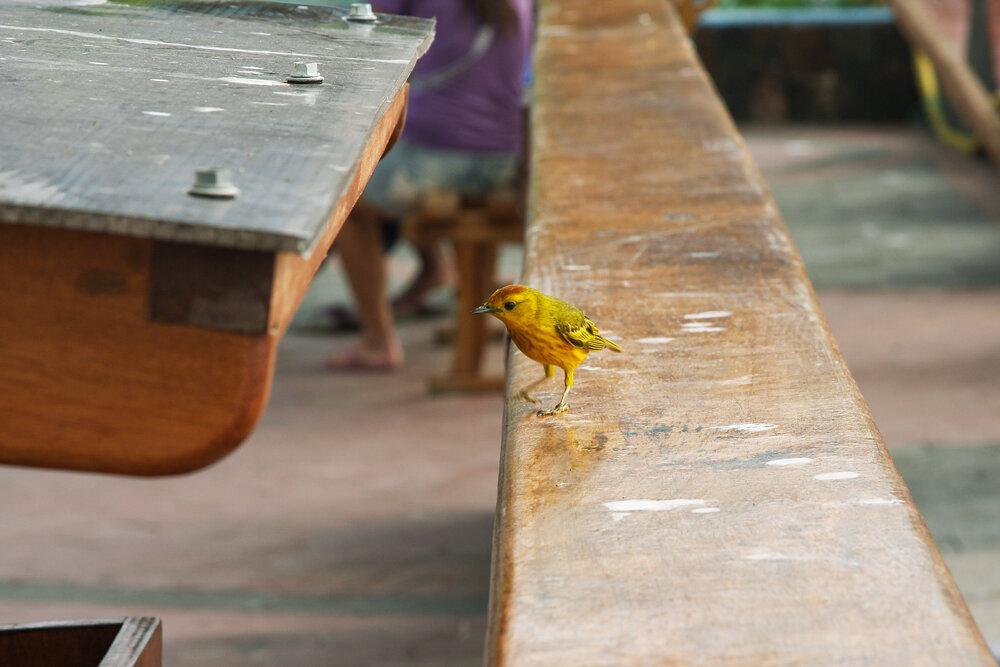 Жёлтая древесница (Dendroica petechia)