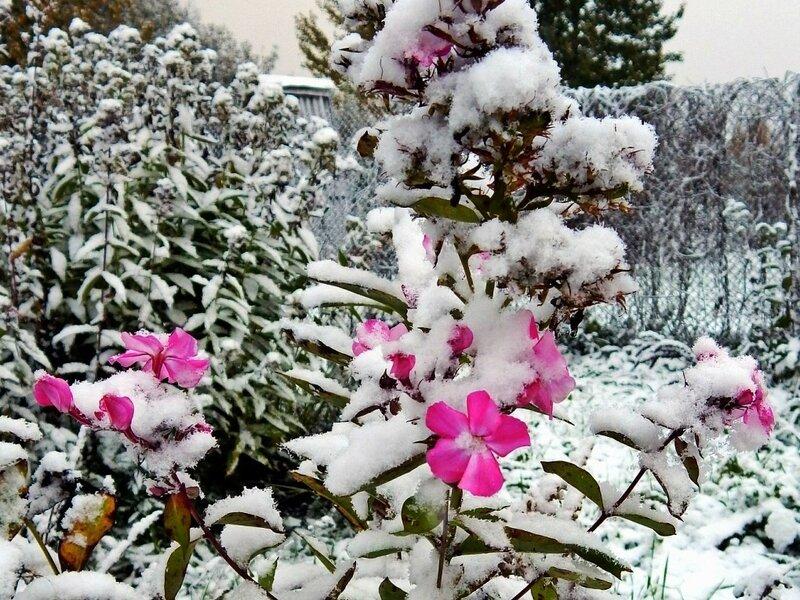 Снежные флоксы