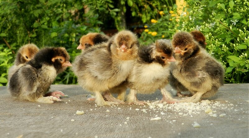 Павловские цыплята