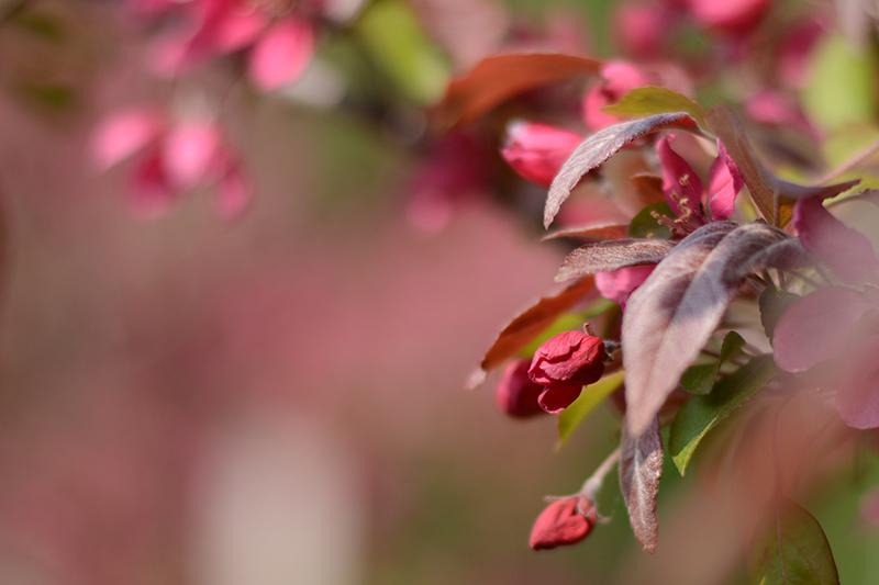 весеннее яблоньки