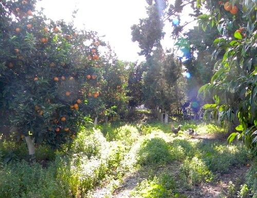 Курицы под апельсинами*