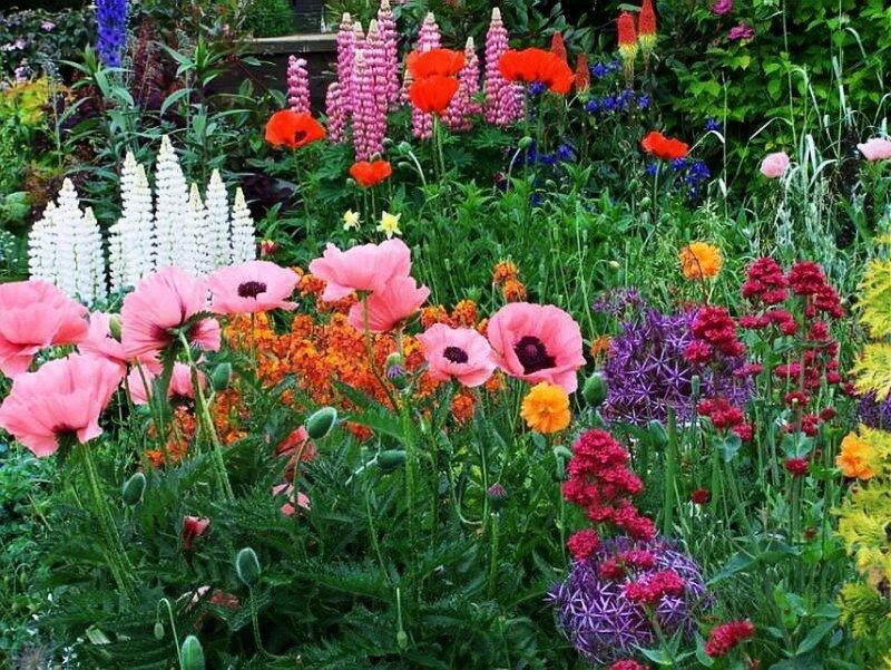 Люпин вирощування з насіння коли садити