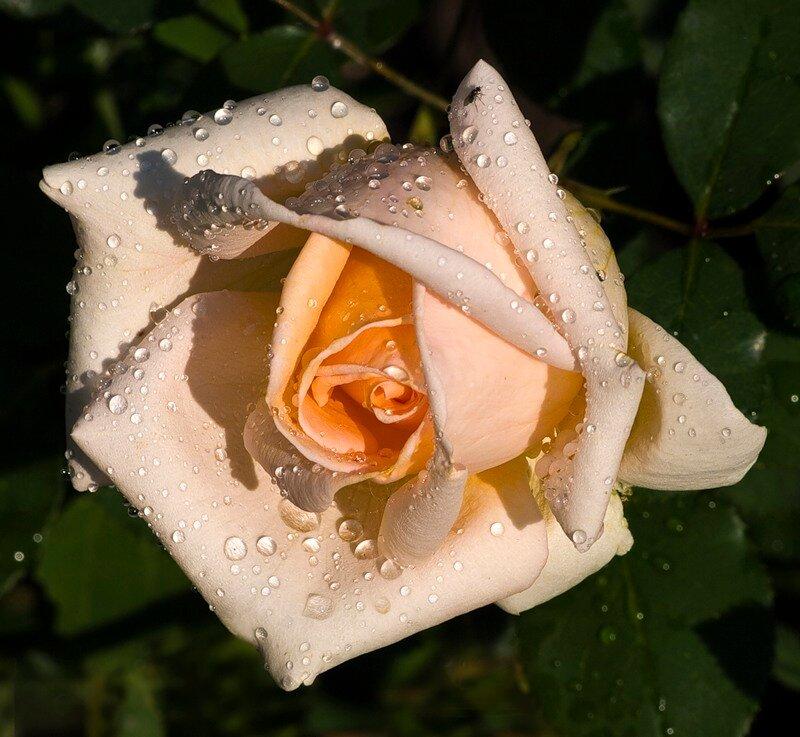 зелеными открытки розы белые в капельках книге