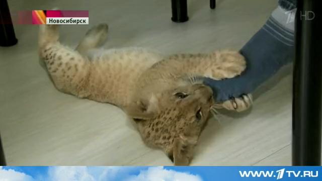 В Новосибирской квартире живет львенок