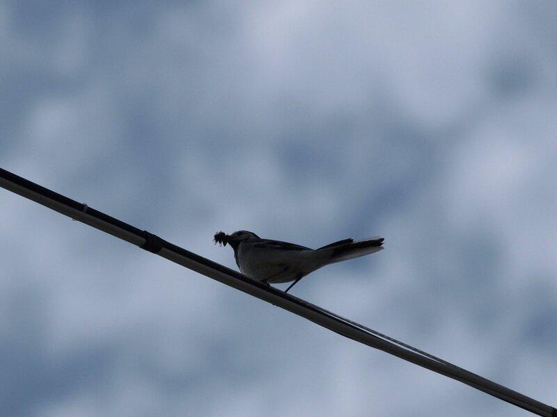 трясогузка с полным клювом мух на проводе на фоне неба