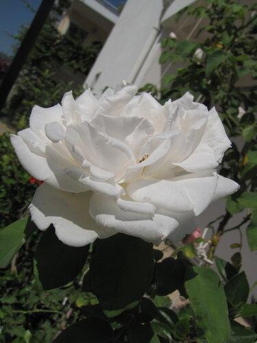 турецкая роза