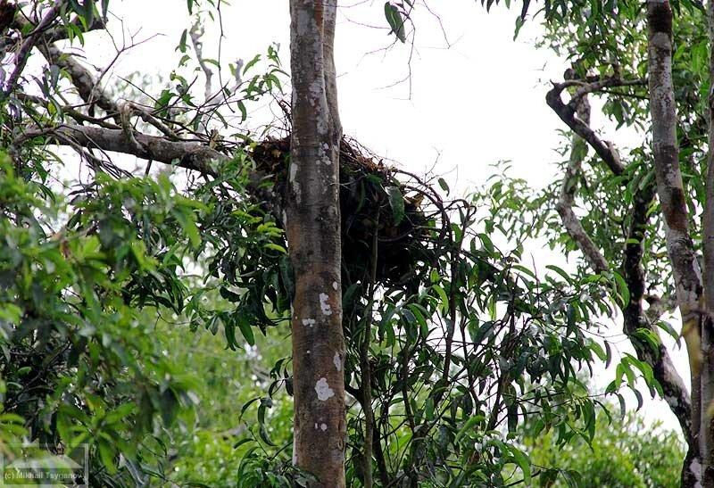 Гнездо орангутана