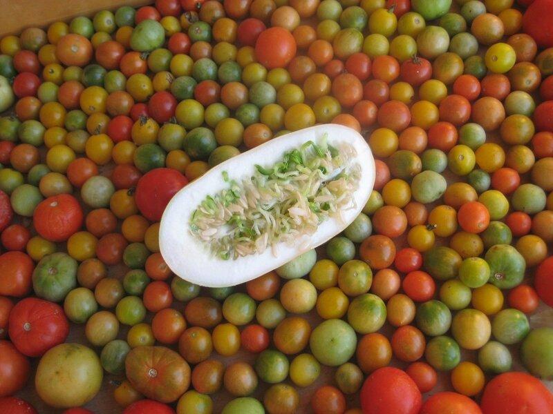 Помидоркам явно не хватило тепла и света, а огурчик оставленный на семена, быстро пророс. овощи. фотография.