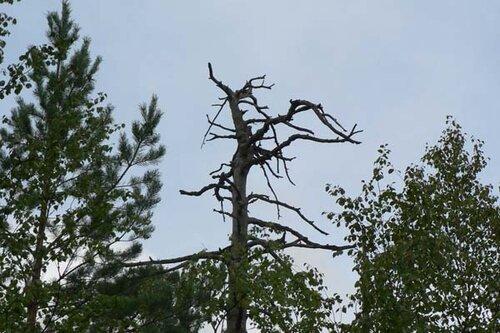 мёртвое дерево