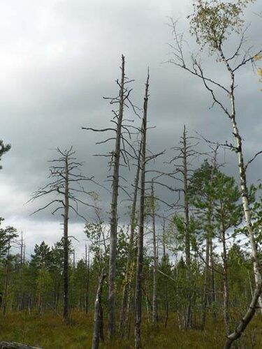 мёртвые деревья