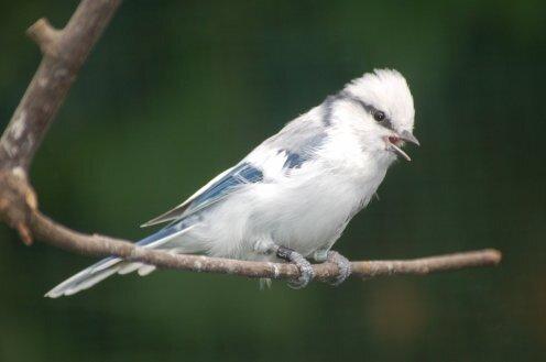 синица белая лазоревка