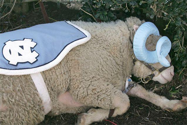 Живые талисманы в студенческом спорте / NCAA Top Real Animal Mascots - Rameses / North Carolina