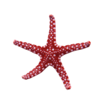 SD NV STARFISH 3.png