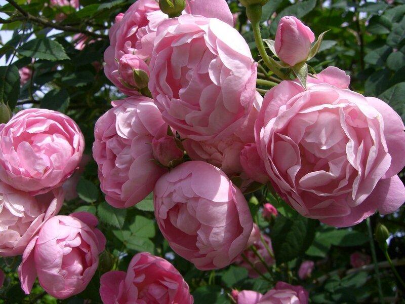 b Розы /b Дэвида Остина b Розы /b и розариум.