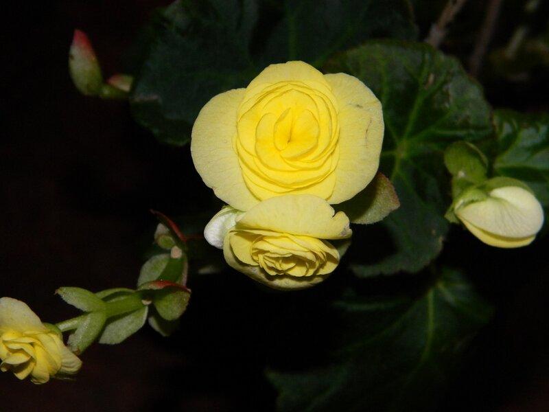 Желтые цветы бегонии