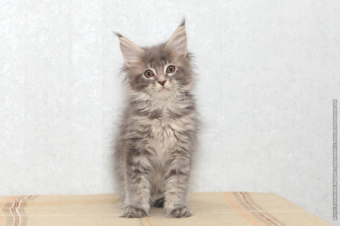 в Москве котенок мейн-кун цена