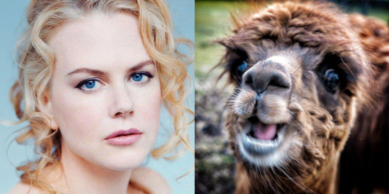 На ферме этой популярной актрисы живут южноамериканские альпаки. Кидман не собирается останавливатьс