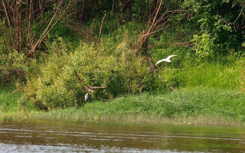 коршун поймал в реке Вятке крупную рыбину