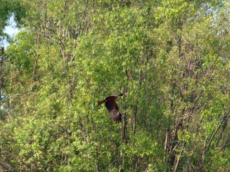 Черный коршун Milvus migrans в полёте во время охоты
