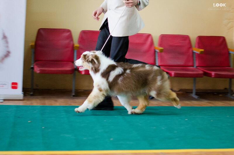 Выставочные успехи наших собак - 5 - Страница 27 0_a8816_8d7f62af_XL