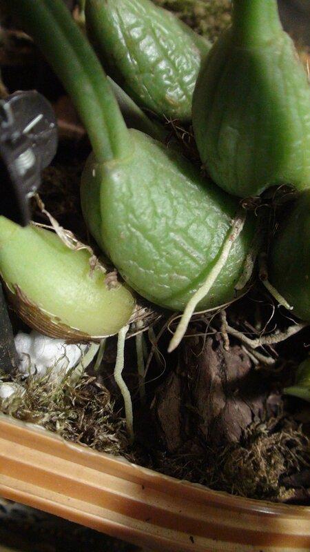 Корни Bulbophyllum nymphopolitanum