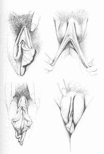 рисунки вульвы
