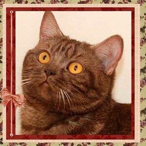 БравоБРИ Оливия bs британская короткошерстная кошка шоколадного серебристого окраса