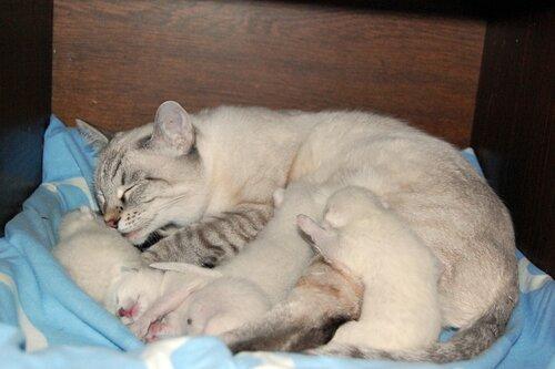 тайские котята тайская легенда