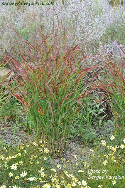 Panicum Virgatum Shenandoah (4).jpg